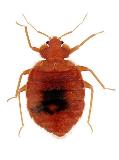 Bedbugs: Tiny hitchhikers infest more than beds and hotel