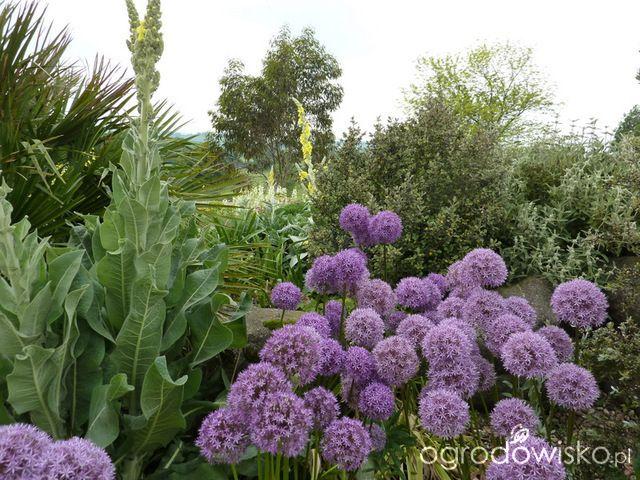 Rosliny Na Suche I Sloneczne Stanowiska Strona 3 Forum Ogrodnicze Ogrodowisko Vegetables Cabbage Cauliflower