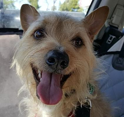 Pictures Of Duckee A Cairn Terrier For Adoption In Scottsdale Az