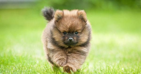 12 of the world's smallest dog breeds - AngusPost