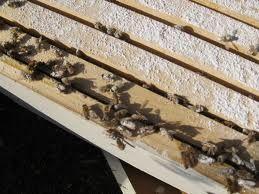 sugared bees