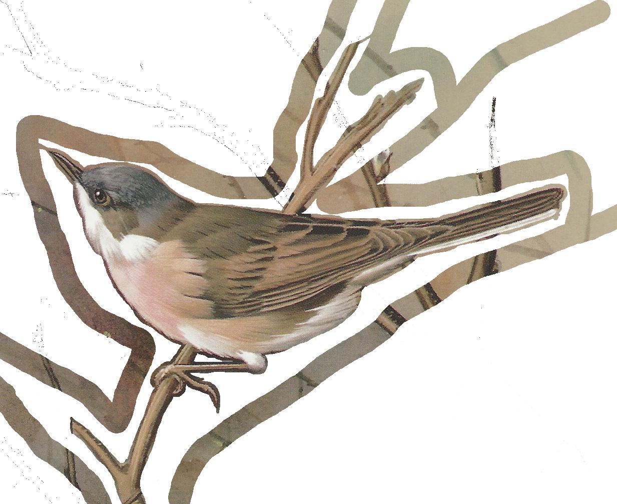 Displaying The Whitethroat Male Warblerpainting Png Vintage Bird Illustration Vintage Birds Bird Printables