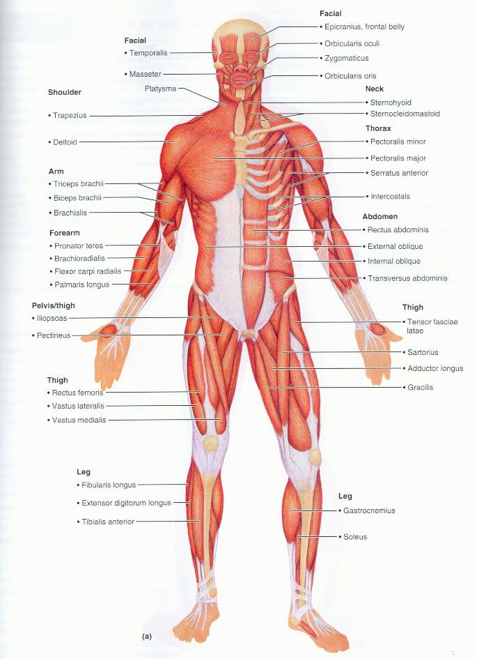 Superficial Muscle Diagram Google Search Anatomy Pinterest