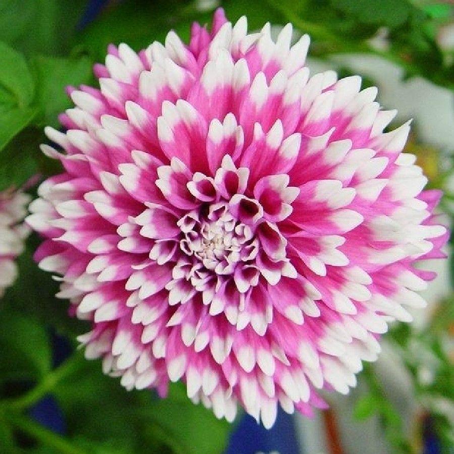 Related image chrysanthemum pinterest chrysanthemums and dahlia