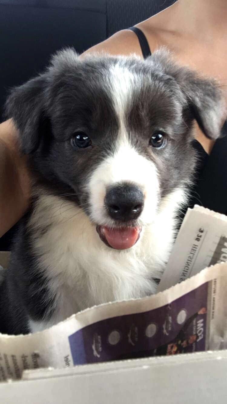 Milo A Border Collie Puppy From Finland Med Bilder