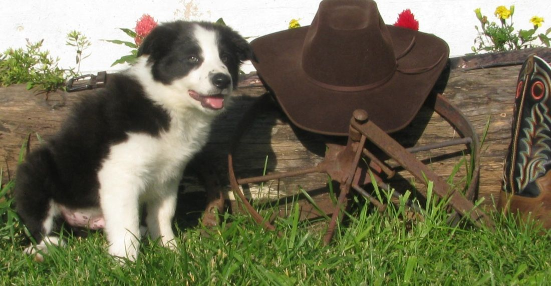 Border collie puppy on the ranch australian cattle dog
