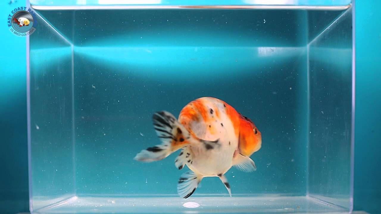 Ranchu Goldfish For Sale Fb1448 Goldfish For Sale Goldfish Catfish Fishing