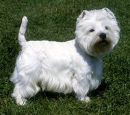 West Highland White Terrier dogs            West Highland White Terrier Stats    Country of Origin: Scotland.  Group: Terrier  Use today: Earthdog  Life Span: 12 to 14 years.  Color: Always white.  Coat: Hard outercoat, 2 inches long; soft undercoat.  Grooming: Twice-weekly brushing. Show coats need shaping by stripping every three months.  Height: 11 inches at the shoulder.  Weight: 15 to 22 pounds.    West Highland White Terrier Profile  Click Here!    Never a pampered pet, the…