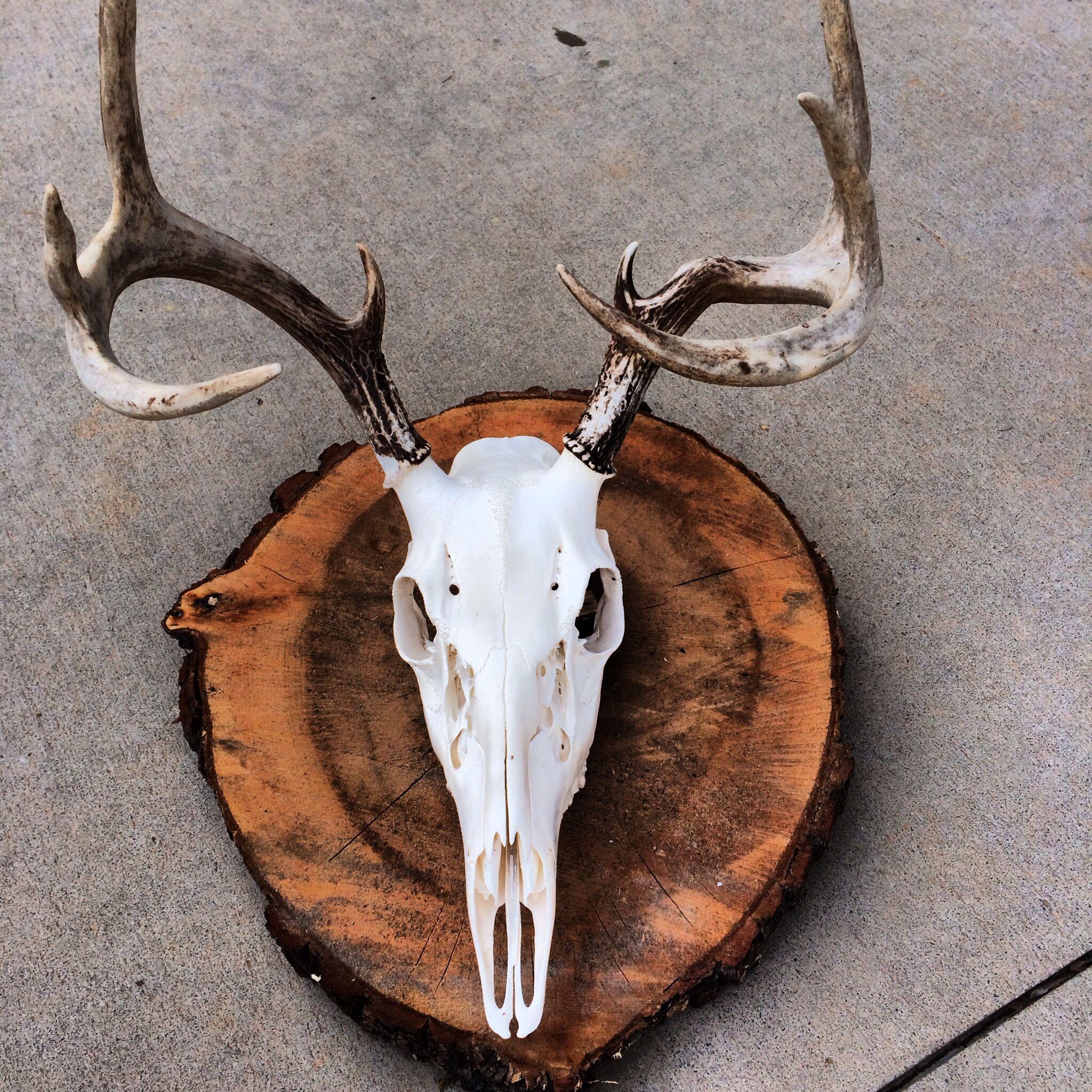 Deer skull mount ideas - European Mount From Sweet Gum Log Deer Skullsdeer