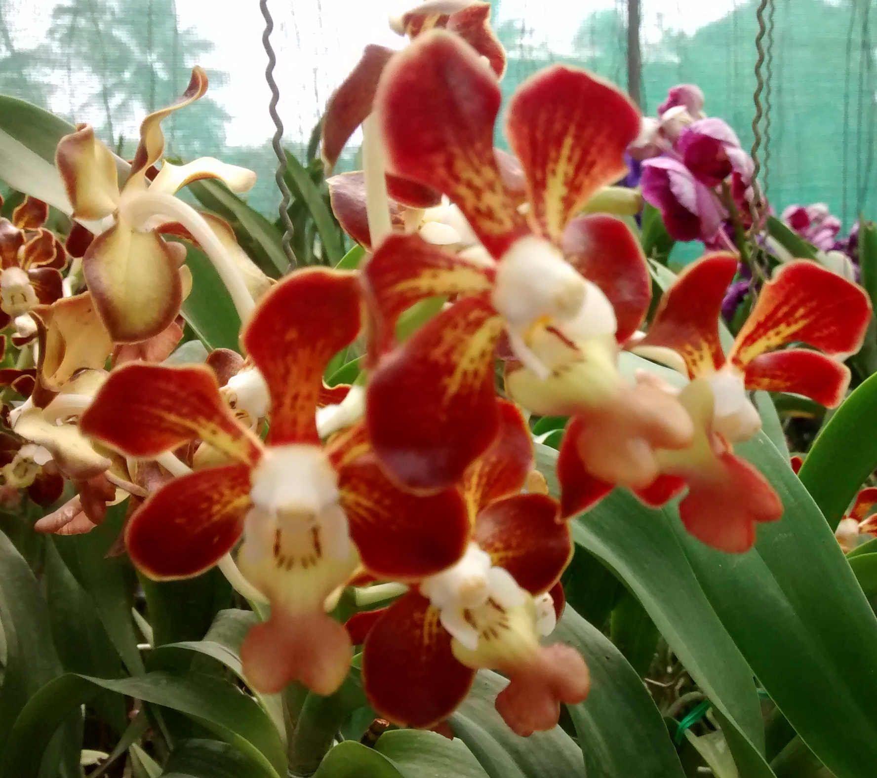 V Tessellata Merrillii Klairvoyant Orchids Thrissur Kerala India Orquidea