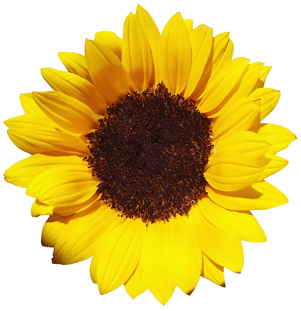 Common Sunflower Download Beautiful Pictures Of Sunflower Sunflower Png Flower Png Images Png Images
