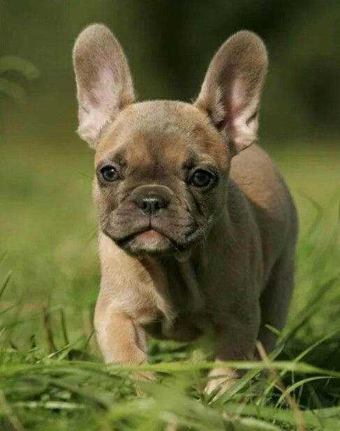 French Bulldog Puppy French Bulldog Puppies Cute Animals