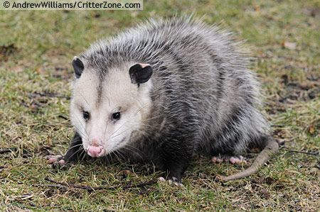 Opossum Native To opossum. More t...