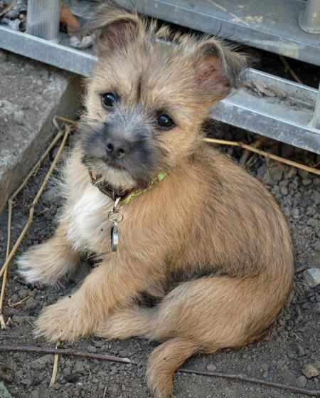 Teddy The Cairn Terrier Mix Puppies Daily Puppy Cairn