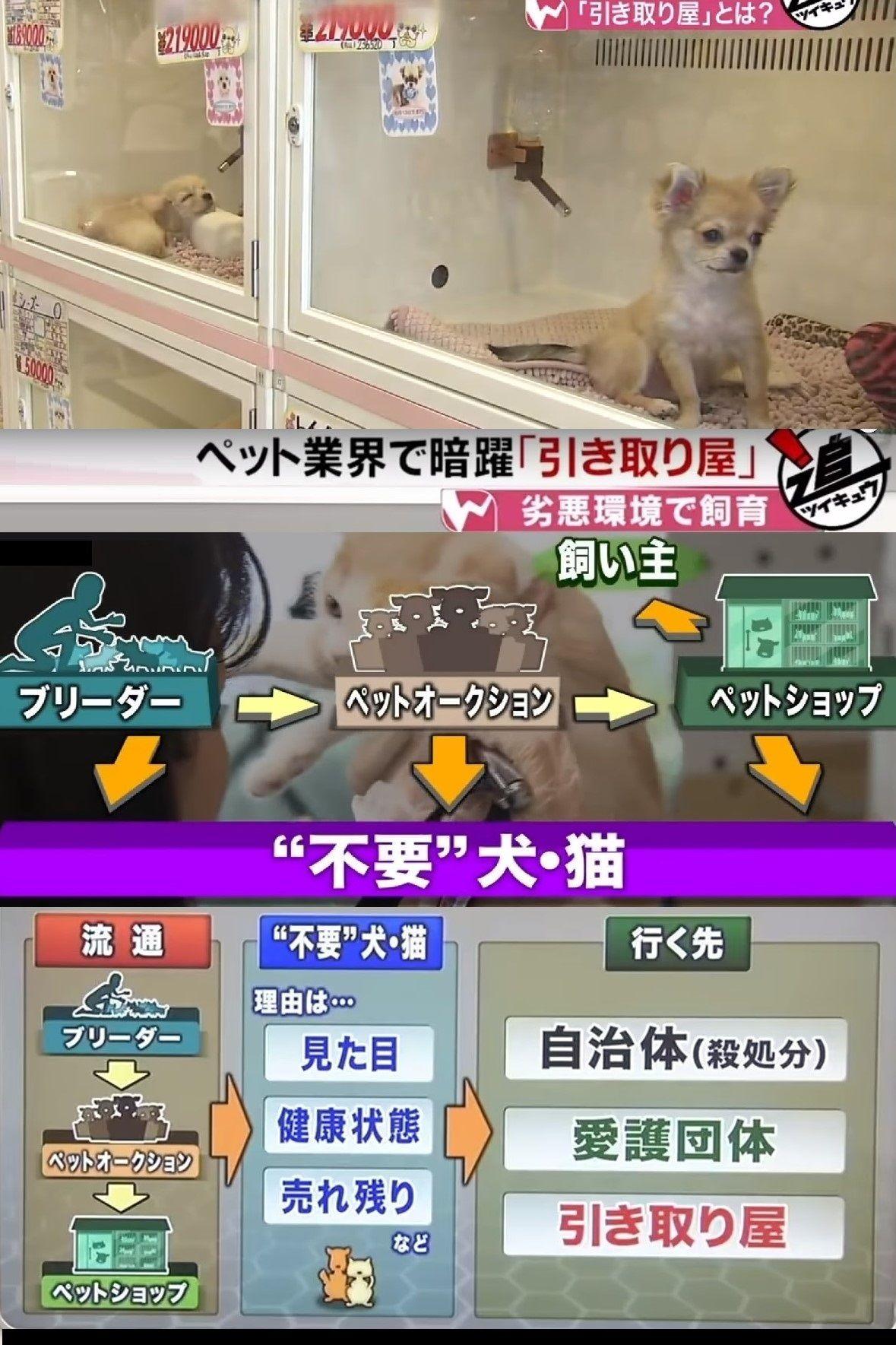 ショップ 売れ残り 猫 ペット みんなの子猫ブリーダー
