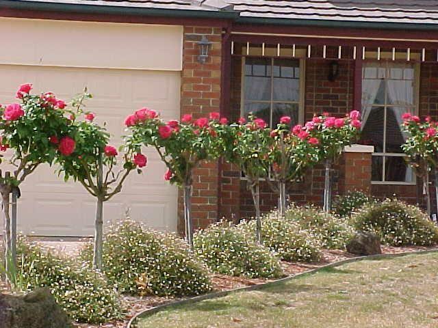 Pink Standard Roses Hedge Front Garden Design Garden Landscape