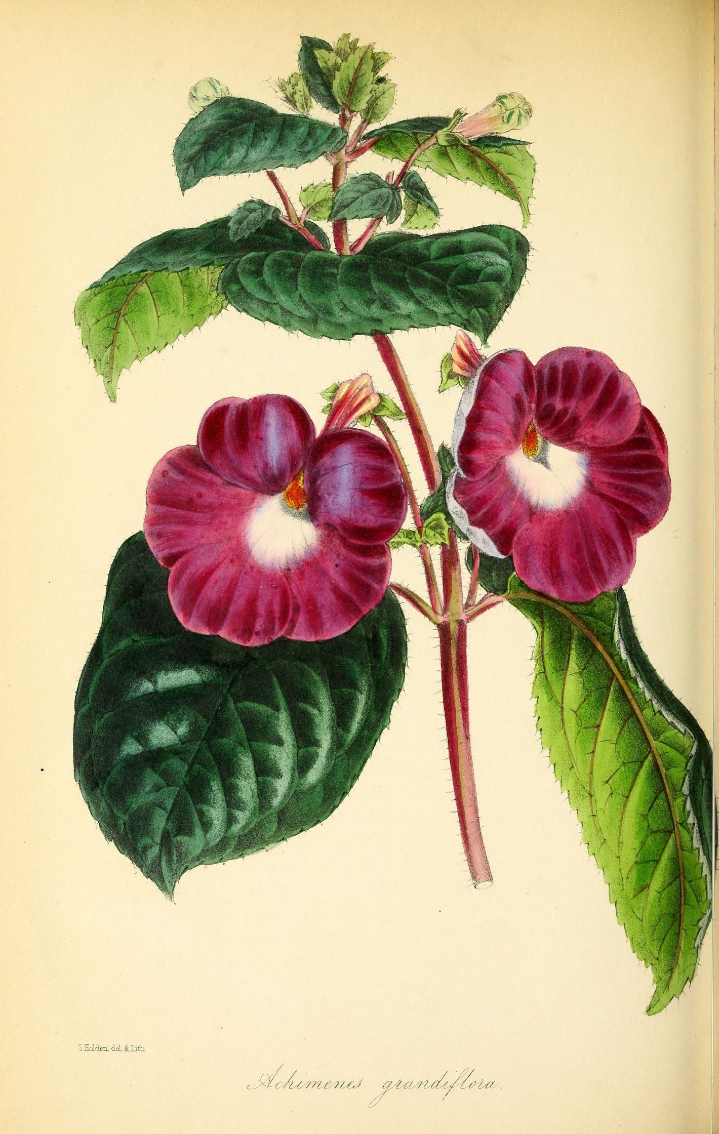 v Paxtonus magazine of botany Biodiversity Heritage
