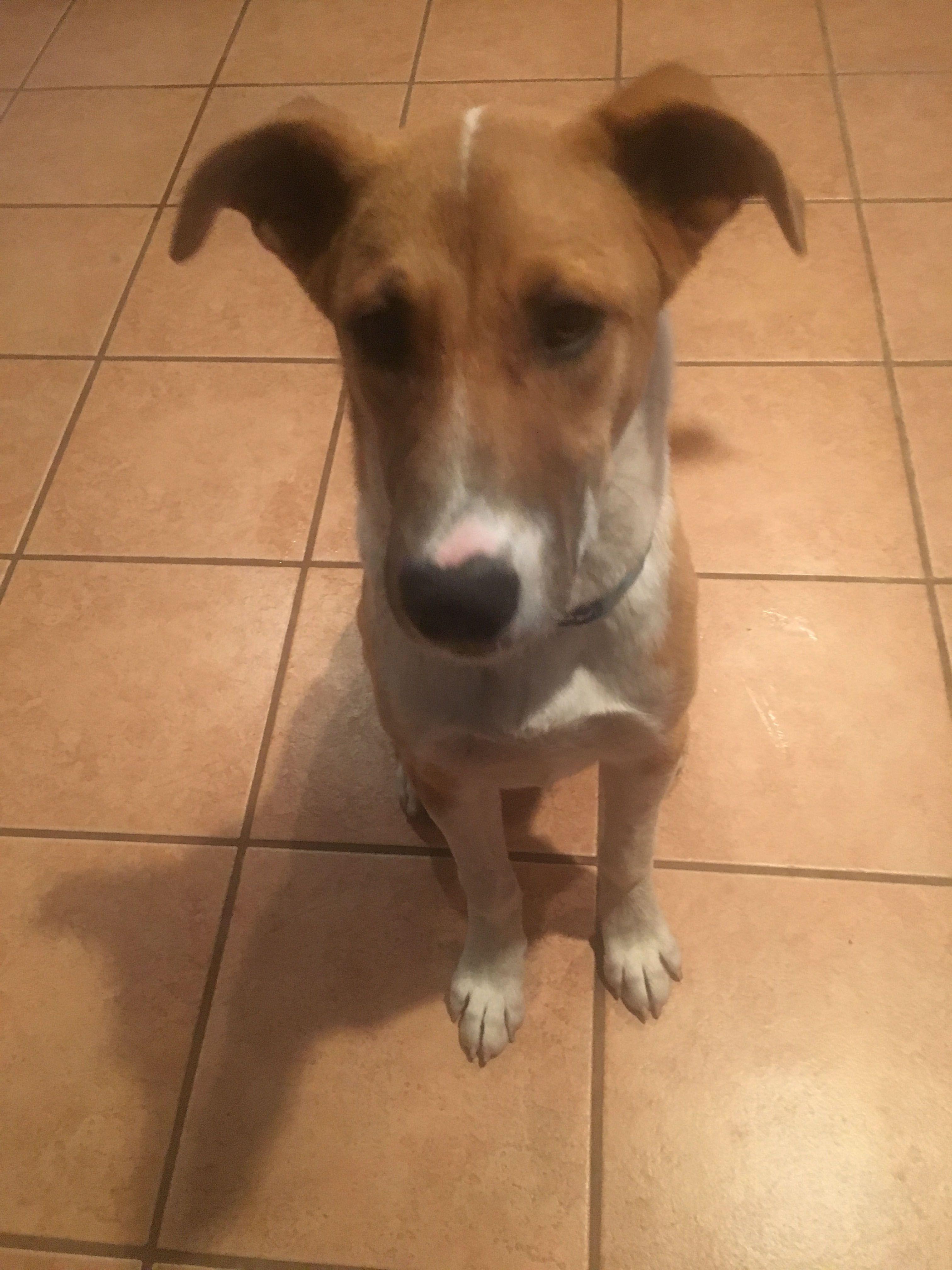 Boxita dog for Adoption in Pueblo West, CO. ADN629215 on