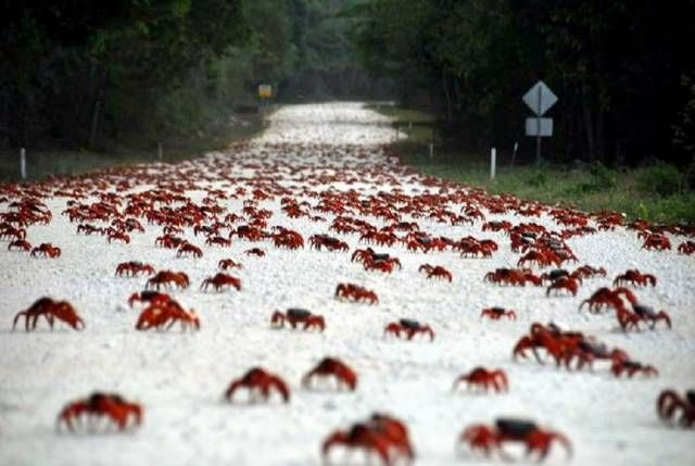 Easter Island the red crab migration (With images)   Easter island, Cocos island, Christmas island