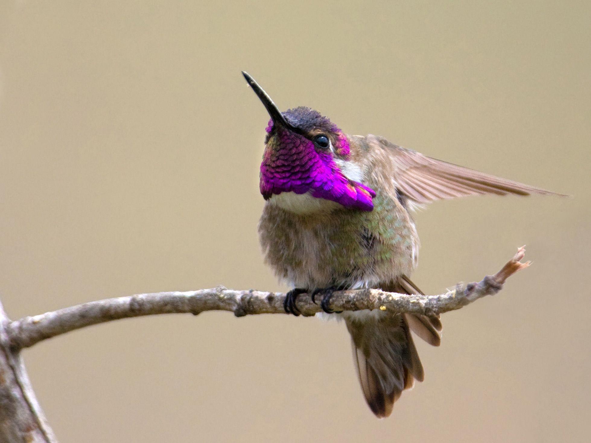 baby rubythroated hummingbird visual pinterest hummingbird