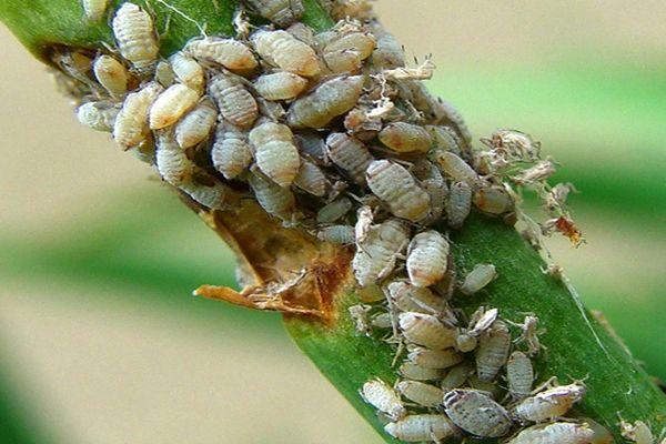 gyomirtó rovarok ellen