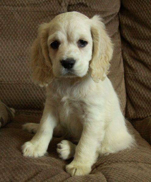 Puppies For Sale Spaniel Puppies Cocker Spaniel Puppies Puppies