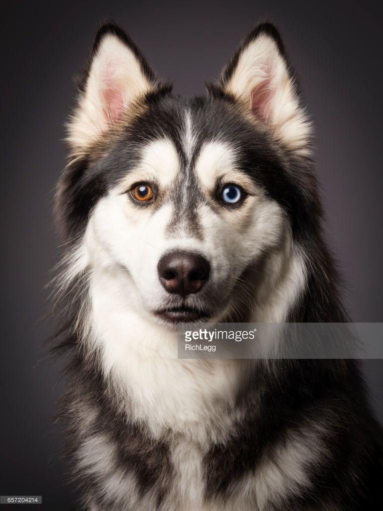 A Close Up Of A Happy Siberian Husky Dog With Heterochromia