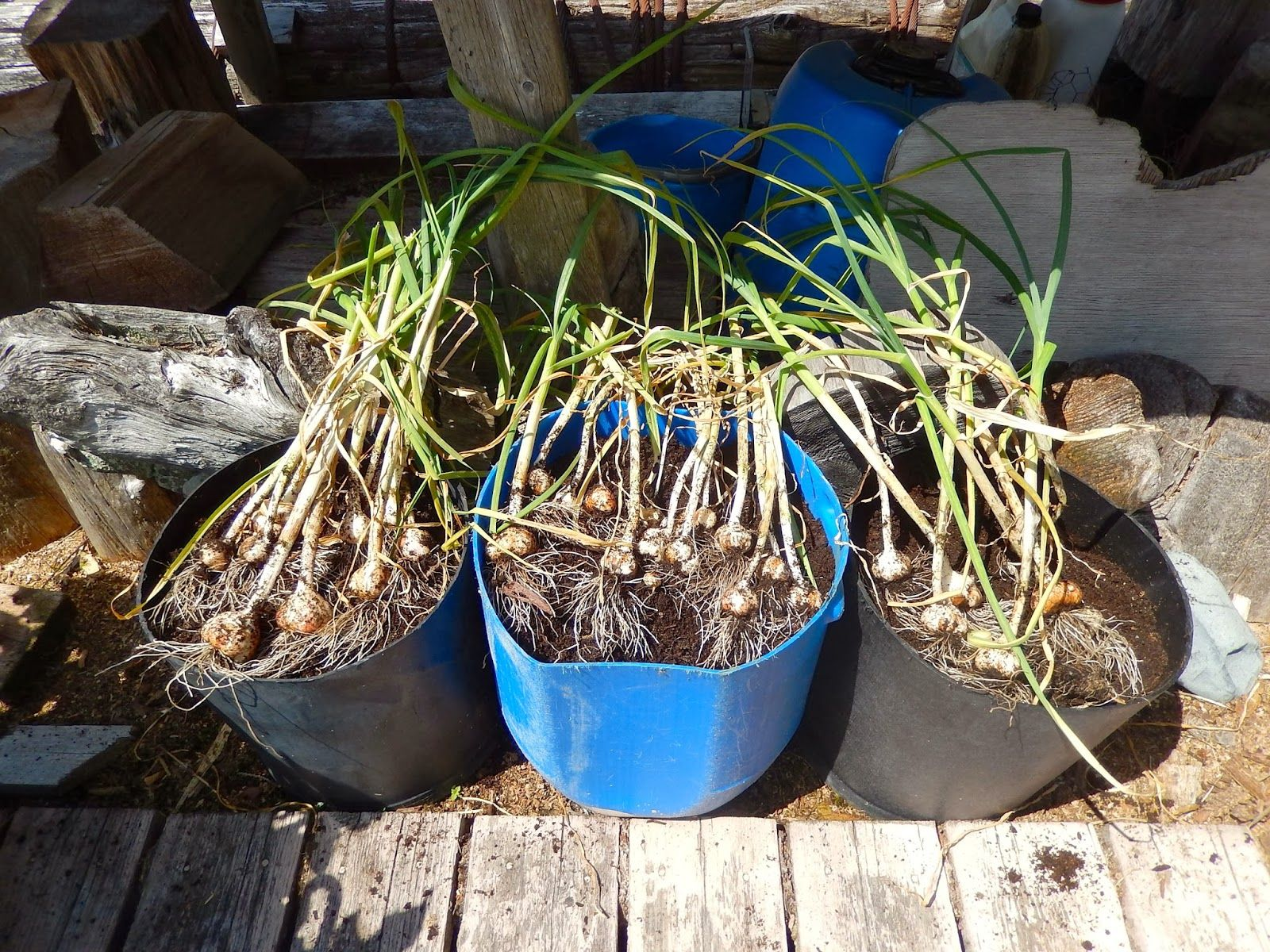 Growing Garlic in Containers. - Margy