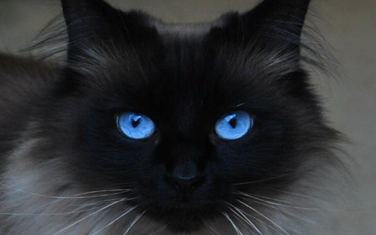 Beautiful Blue Eyes Cats 16233668 1280 800 Cat With Blue Eyes Beautiful Cats Cats And Kittens
