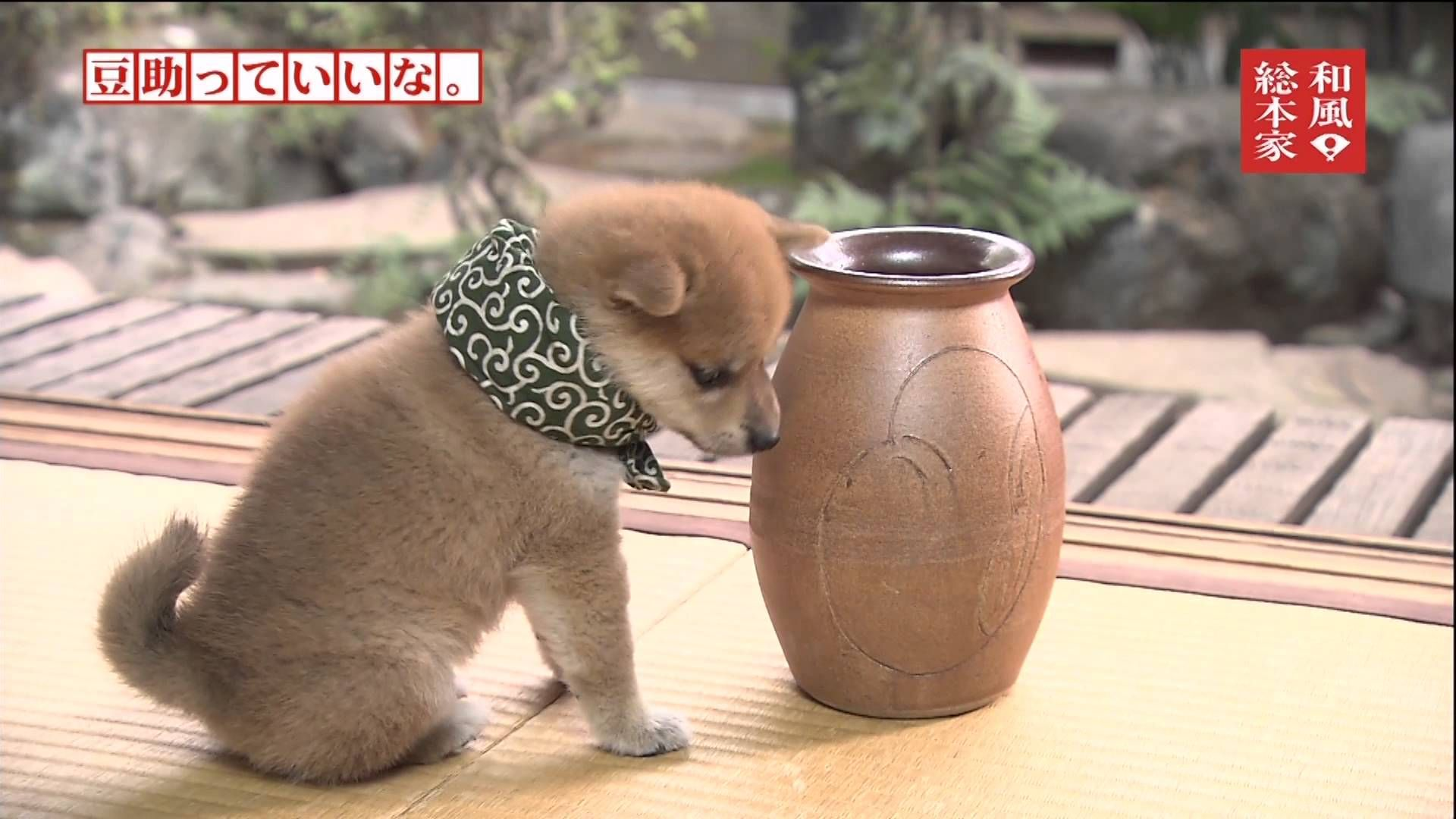 豆助っていいな 10代目 10 8代目豆助コレクション 柴犬