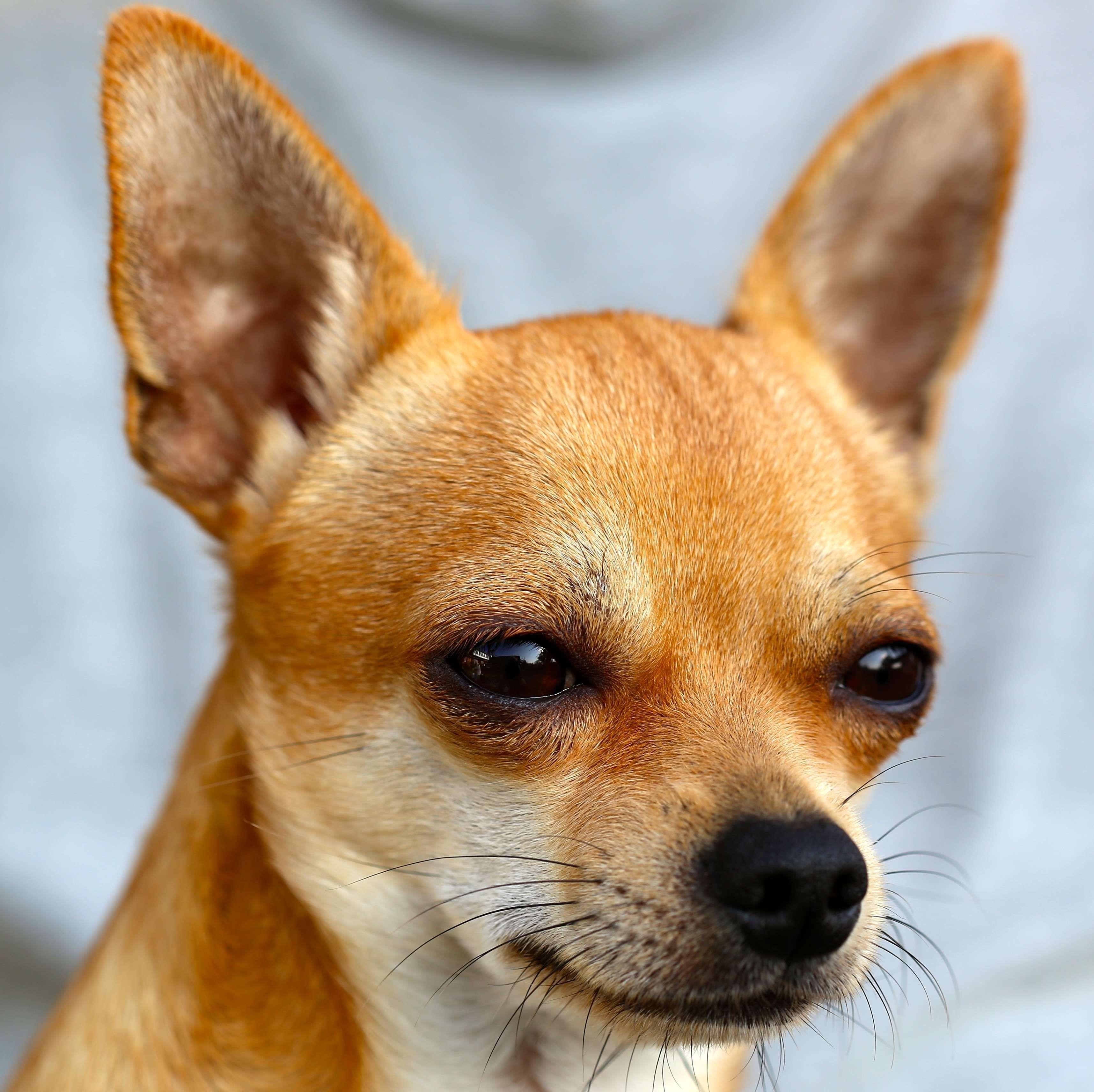 Animal Chihuahua Close Up Dog Eyes Pet Sobel Wallpaper