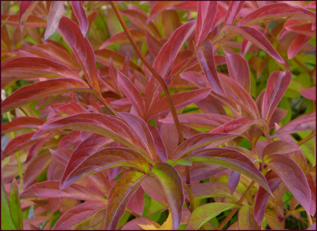 The Peony A Gorgeous Plant With A Little Known Second Season In Autumn Its Leaves Turn Gorgeous Streaking Colors Of Peony Leaves Cool Plants Autumn Garden