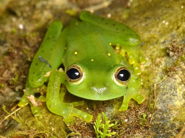 Variable or Emerald Glassfrog, Espadarana prosoblepon