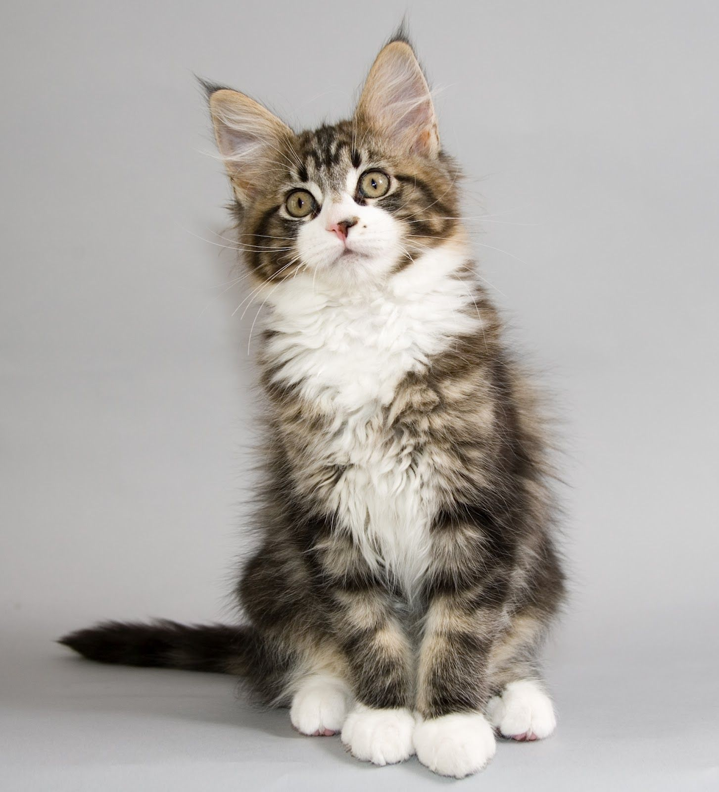 Cute Cats Maine Coon Cats A Feline Point Of View