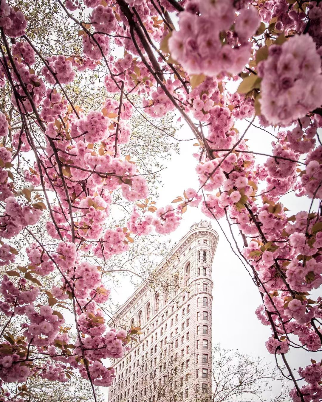 Cherry Blossoms In The Flatiron District New York City By 212sid On Instagram Happy Earth Cherry Blossom Flowering Trees