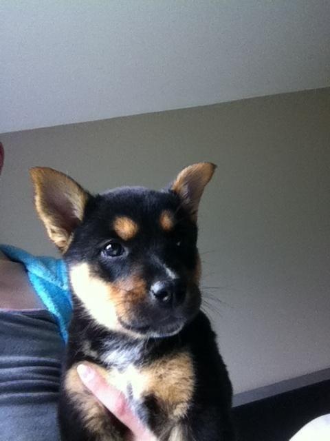 Adopt Mason On Siberian Husky Dog Dogs Husky Shepherd Mix