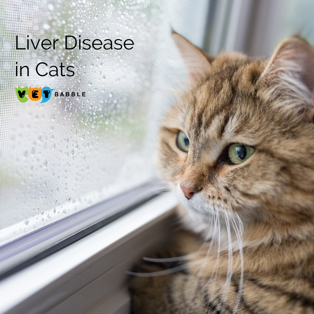 Liver Disease in Cats. Causes, Symptoms and What to Expect