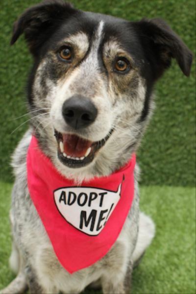 Introducing Rosie! Australian Cattledog cross Siberian