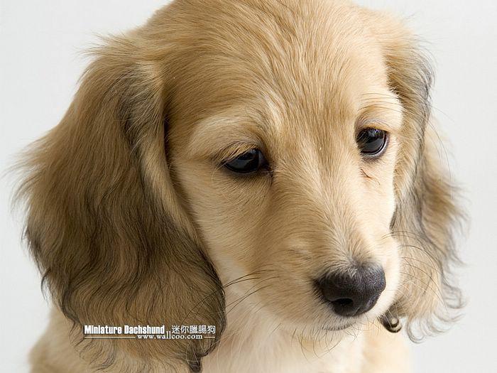 Miniature Long Hair Dachshund I Need A Dog Kittens And Puppies Dachshund Puppy Miniature Dachshund