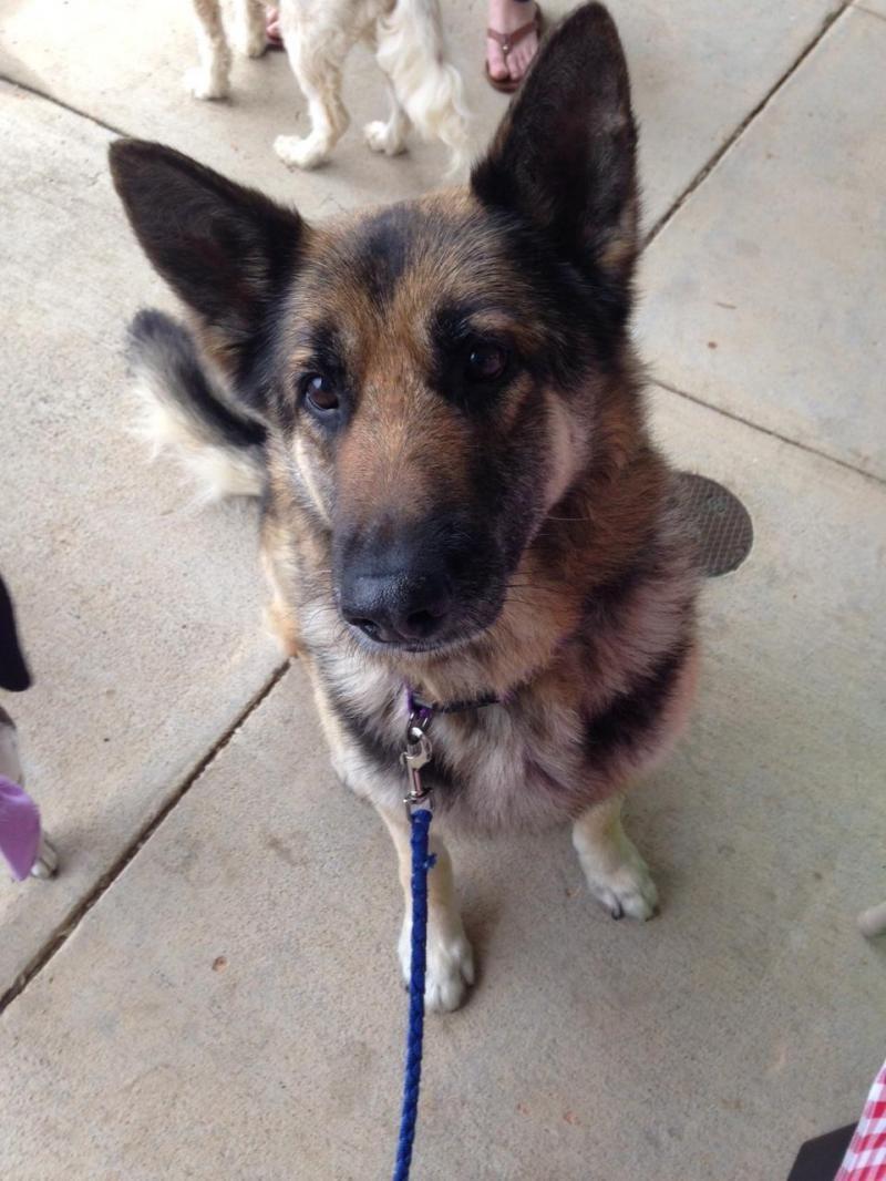 Adopt Duncan On German Shepherd Dogs Dogs Shepherd Dog