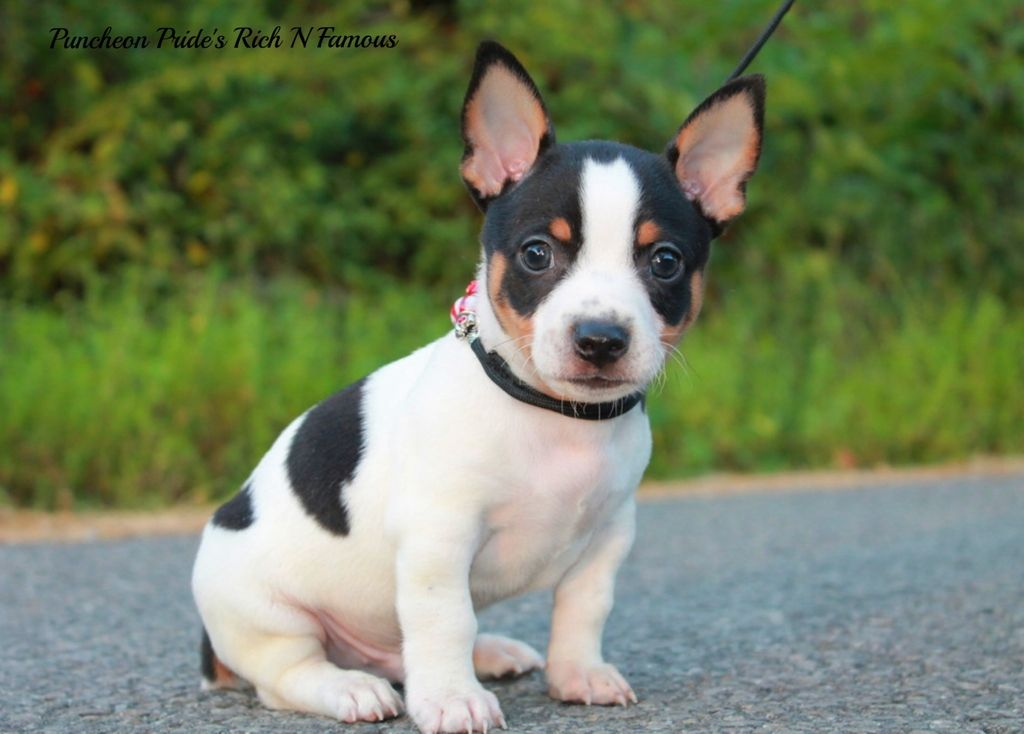 Rat Terrier Teddy Roosevelt Terrier Omg I Need To Hold This