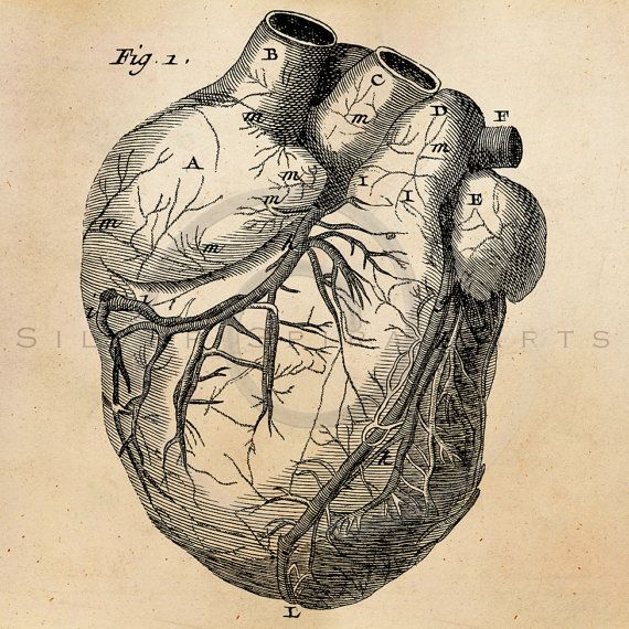 Vintage Heart Anatomy Illustration Printable 1800s Antique Human