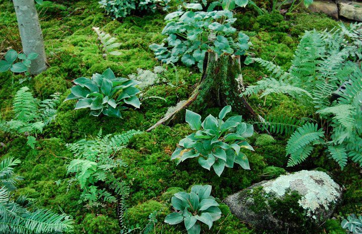 Moss With Hostas Moss Is A Better Alternative To Mulch Moss