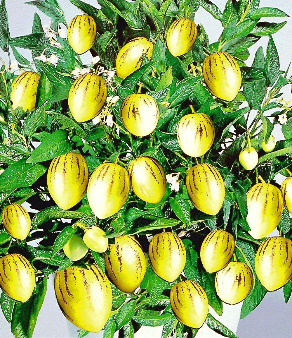 Melonenbirne Pepino Gold 1a Qualitat Kaufen Baldur Garten Planten Meloen Overwinteren