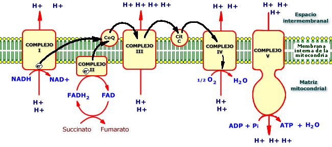 Ciclo De Krebs Ciclo De Krebs Biologia Molecular Y