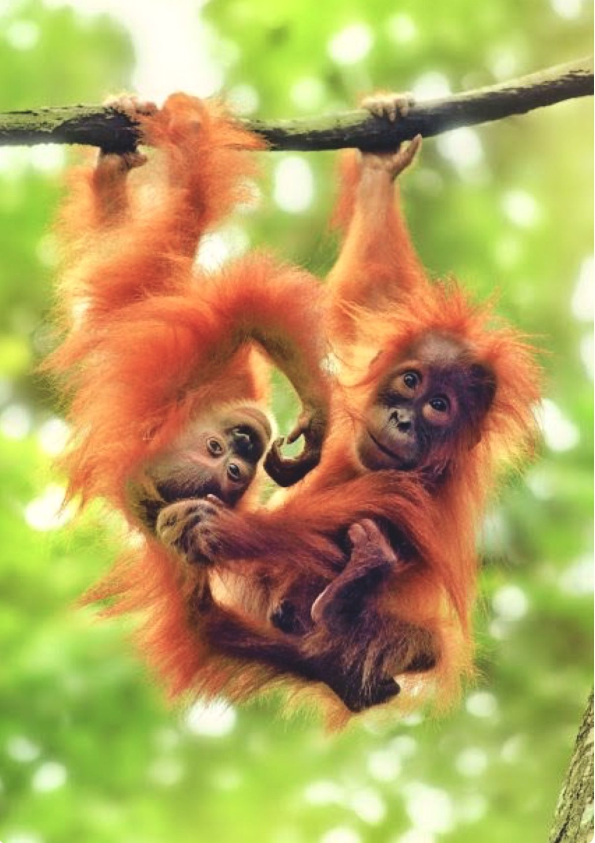 Adorable baby orangutans hanging from a branch. (With ...