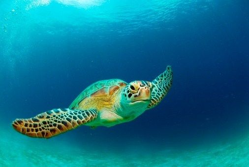 Safcol Tuna fishing with pole and line help sustain your local oceans creatures including the sea turtle. Stay informed @ https://twitter.com/Safcoltuna