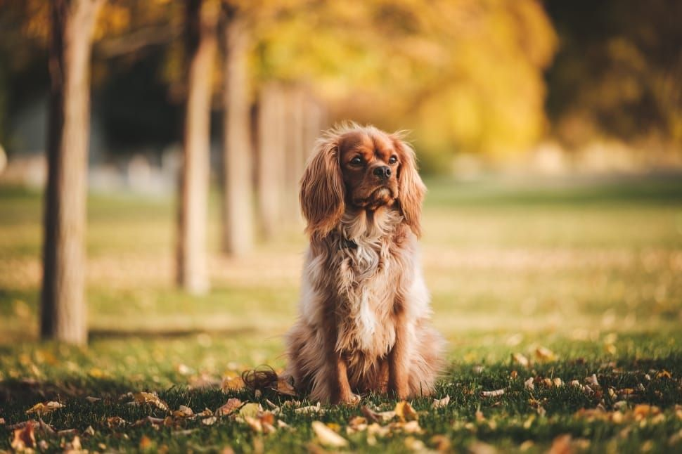 How Much Does A Cocker Spaniel Cost Ownership Costs In 2020 Pet Care Dogs Cocker Spaniel Dog American Cocker Spaniel