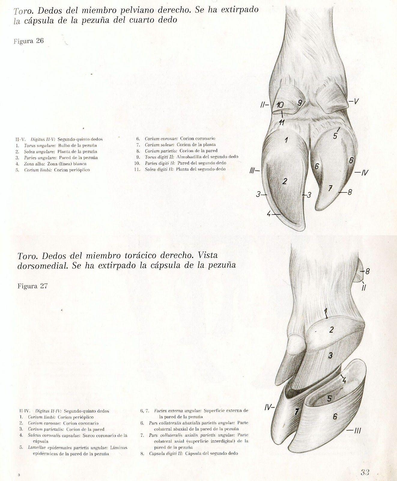 Anatomia Veterinaria: Miembro Pelviano (Toro) | Anato Creature ...