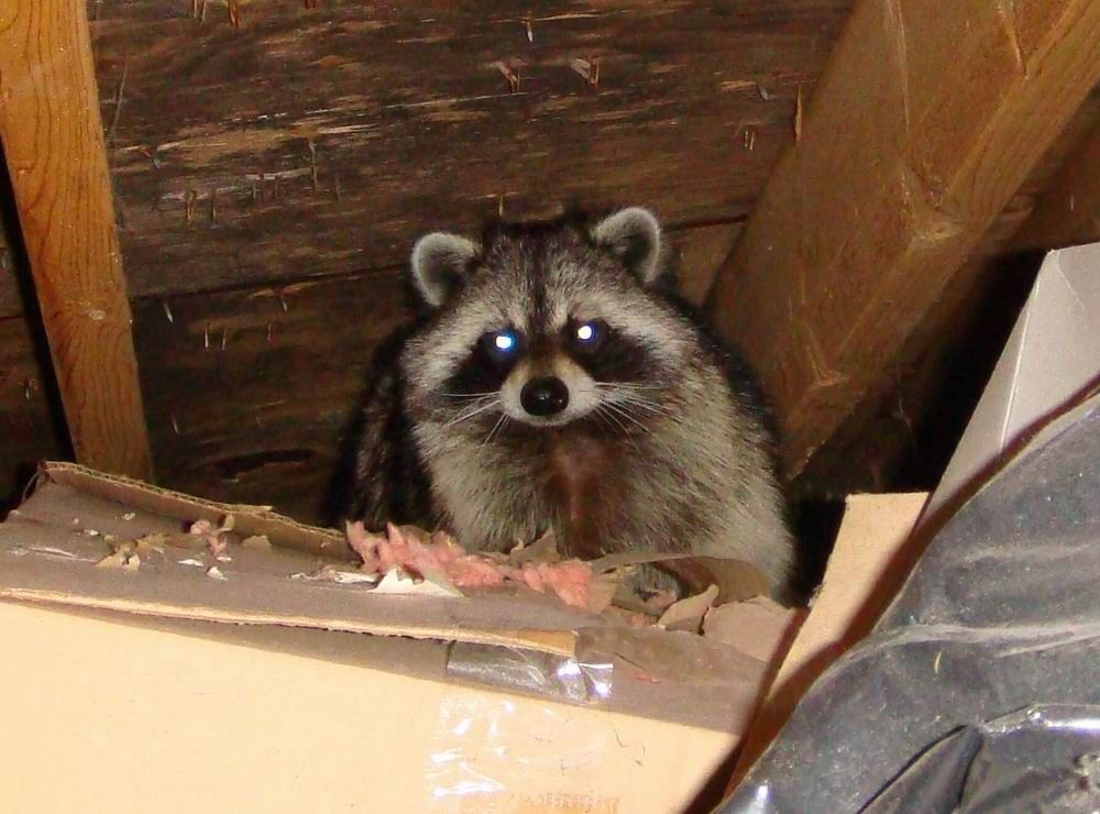 Peek A Boo They Often Use The Soffit To Try To Circle Around Behind Us When It S A Mother Raccoon With Babies Raccoon Repellent Rodents Animals